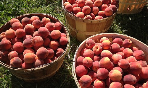 Millions of Peaches, Millions for Me, Millions of Peaches, I picked them for free.